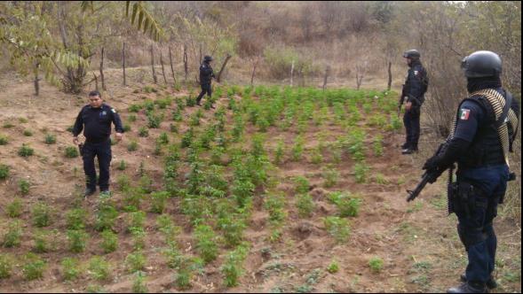¡Descubre Policía Federal megaplantío de 2 toneladas de marihuana en Sonora!