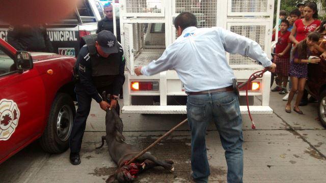 ¡2 perros pitbull atacaron a una niña en Aguascalientes y la dejaron al borde de la muerte!