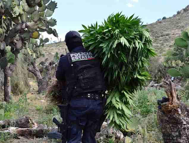 Policías estatales preventivos descubrieron y destruyeron un plantío de marihuana en Zacatecas