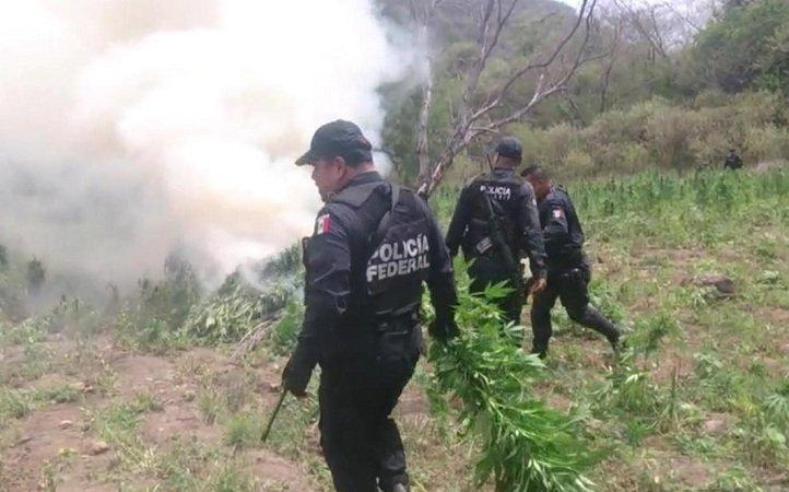 ¡Incineran más de 72 toneladas de sembradíos de marihuana en Nayarit!