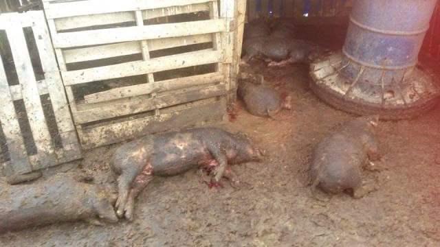 ¡2 perros pitbull mataron a 37 cerdos en un rancho en Aguascalientes y fueron sacrificados!
