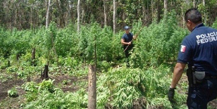 ¡Incinera la Policía Federal 10 sembradíos de amapola en Guerrero!