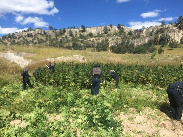 ¡Destruye la Policía Federal 300 toneladas de marihuana en Chihuahua!