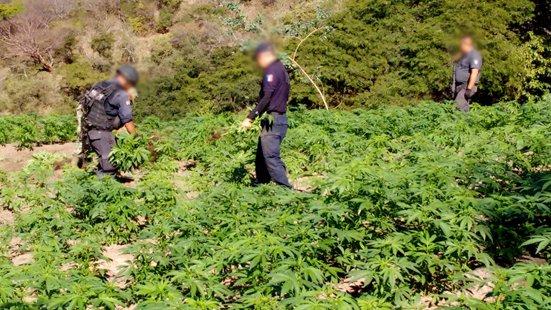 ¡La CNS Erradica y destruye más de 75 toneladas de marihuana, en nayarit!