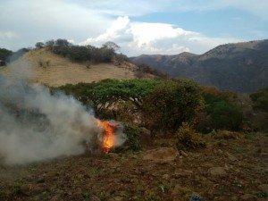 Fuerza Única destruye e incinera cerca de 90 mil plantas de mota (4) (640x480)