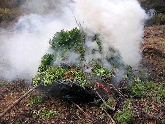 ¡Fuerza Única destruye e incinera cerca de 90 mil plantas de mota en Hostotipaquillo!
