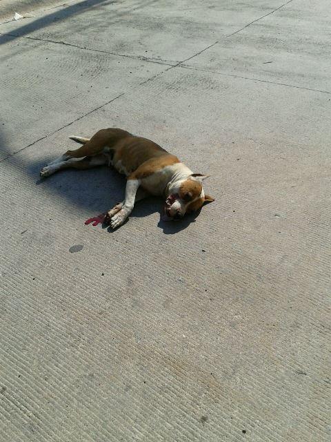 ¡Policía municipal sacrificó a balazos a perro pitbull que quiso atacar a una niña en Aguascalientes!