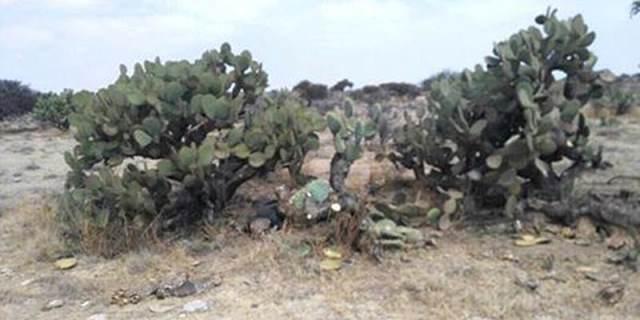 ¡Entre unas nopaleras hallaron a un ejecutado en Guadalupe, Zacatecas!