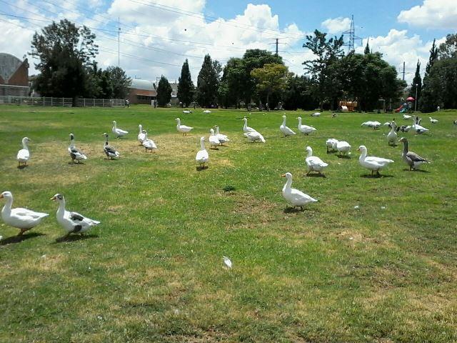 ¡Contaminado El Cedazo por exceso de excremento de patos y otras aves!