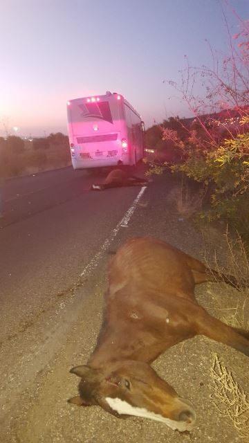 ¡Mueren atropellados 4 caballos por un autobús de pasajeros conducido por un zacatecano!