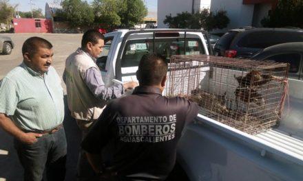 ¡Se captura a gato montés que rondaba por la comunidad de Sandovales y Norias de Ojocaliente!