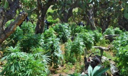 ¡Militares localizaron y destruyeron 101 plantíos de marihuana en Zacatecas!