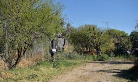 ¡Más del 90% de los árboles que fueron reubicados por el paso a desnivel en antiguo camino a San Ignacio se encuentran en óptimas condiciones!