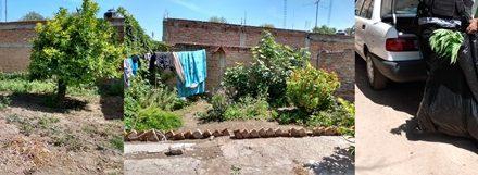 ¡Destruyeron plantío de marihuana y aseguraron 60 plantas en una parcela doméstica en Aguascalientes!