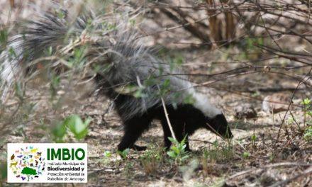 ¡Rescata Control y Bienestar Animal de Pabellón de Arteaga una hembra de zorrillo listado!