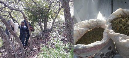 ¡Aseguraron 12 kilos de marihuana en un predio en Calvillo, Aguascalientes!