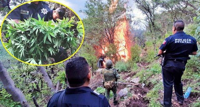 ¡Obtuvo la FGR en Aguascalientes vinculación a proceso contra una persona por el aseguramiento de más de 20 mil plantas de marihuana!