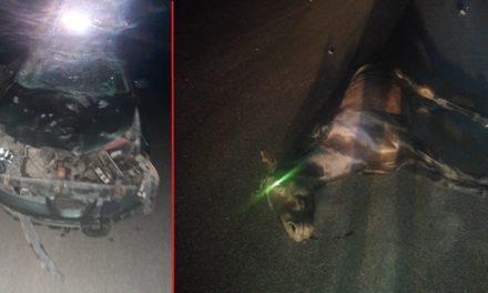 ¡Automovilista embistió y mató a un caballo en Aguascalientes!