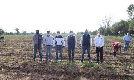 ¡Recorre gobernador Martín Orozco cosecha de espárragos, una nueva opción productiva del campo en Aguascalientes!