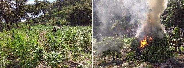 ¡Militares aseguraron y destruyeron cuatro plantíos de marihuana en los límites de Zacatecas y Jalisco!