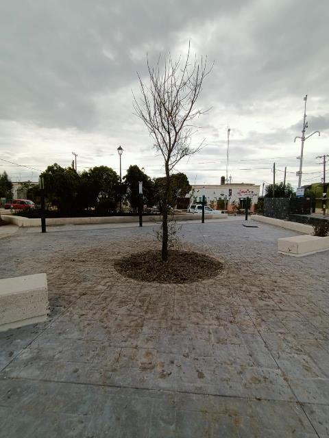 ¡Ayuntamiento de Rincón de Romos mata a nieto de ahuehuete donde lloró Hernán Cortés!